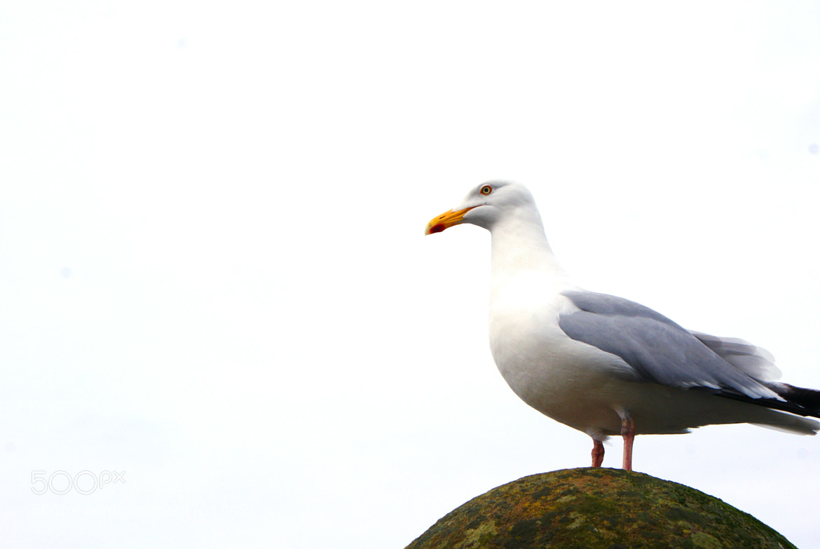 Photograph Oban Seagull by Jemma Brannigan on 500px