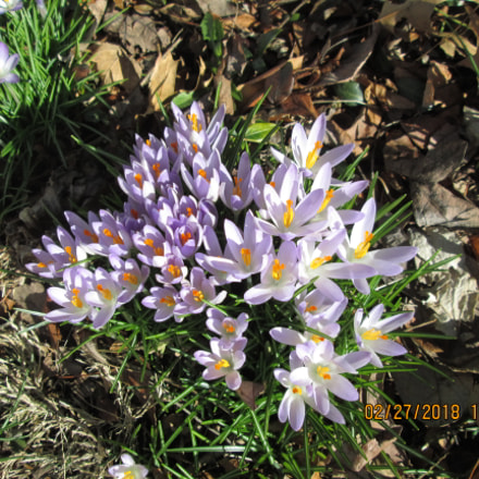 spring crocus, Canon POWERSHOT A3400 IS