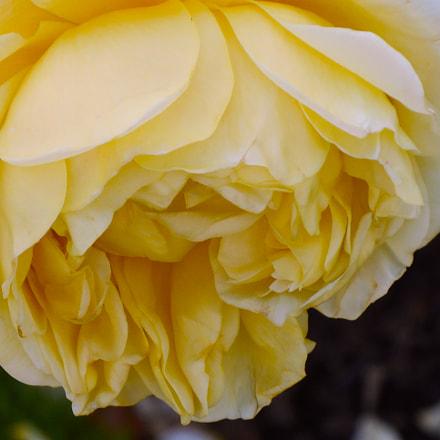 Victorian rose, Nikon COOLPIX S3400