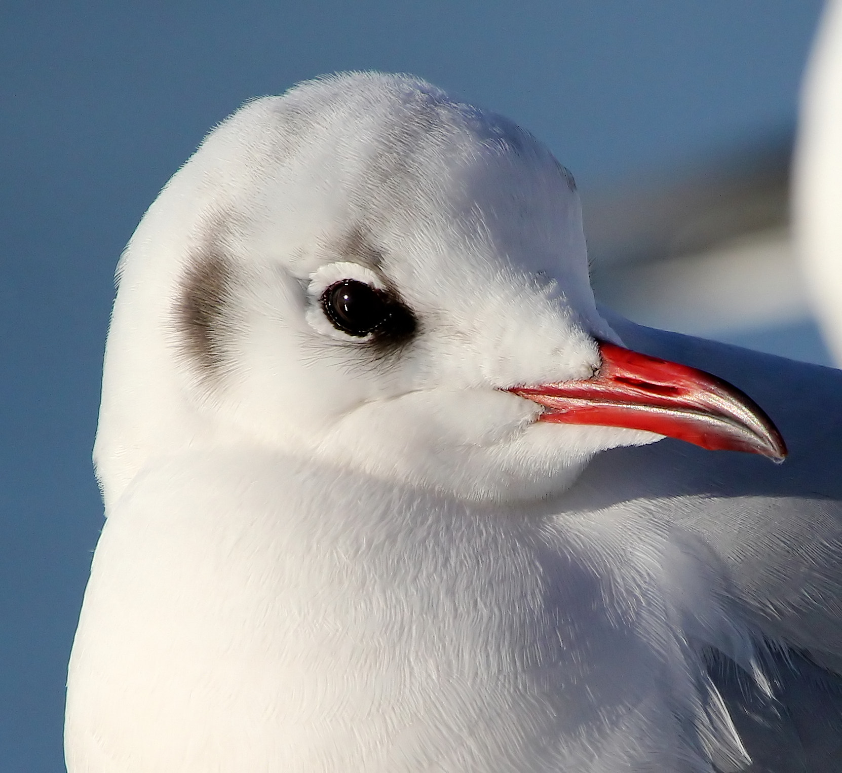 Photograph Black-headed Gull by Ger Bosma on 500px