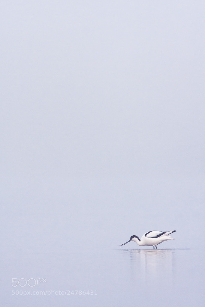 Photograph Avocet in smog by Marc Pihet on 500px