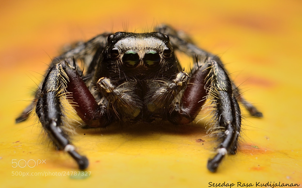 Photograph Black Jumper Spider by Sesedap Rasa Kudijalanan on 500px