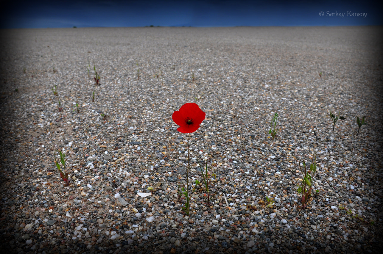 Photograph Lonely Red Poppy by Serkay Kansoy on 500px