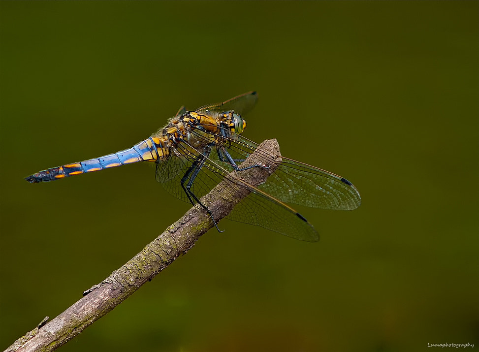 Photograph  Dragonfly.. by Martien van Hout on 500px