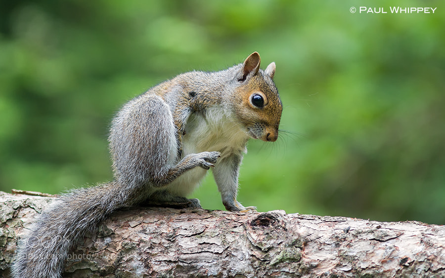 Photograph Squirrel scratch by Paul Whippey on 500px