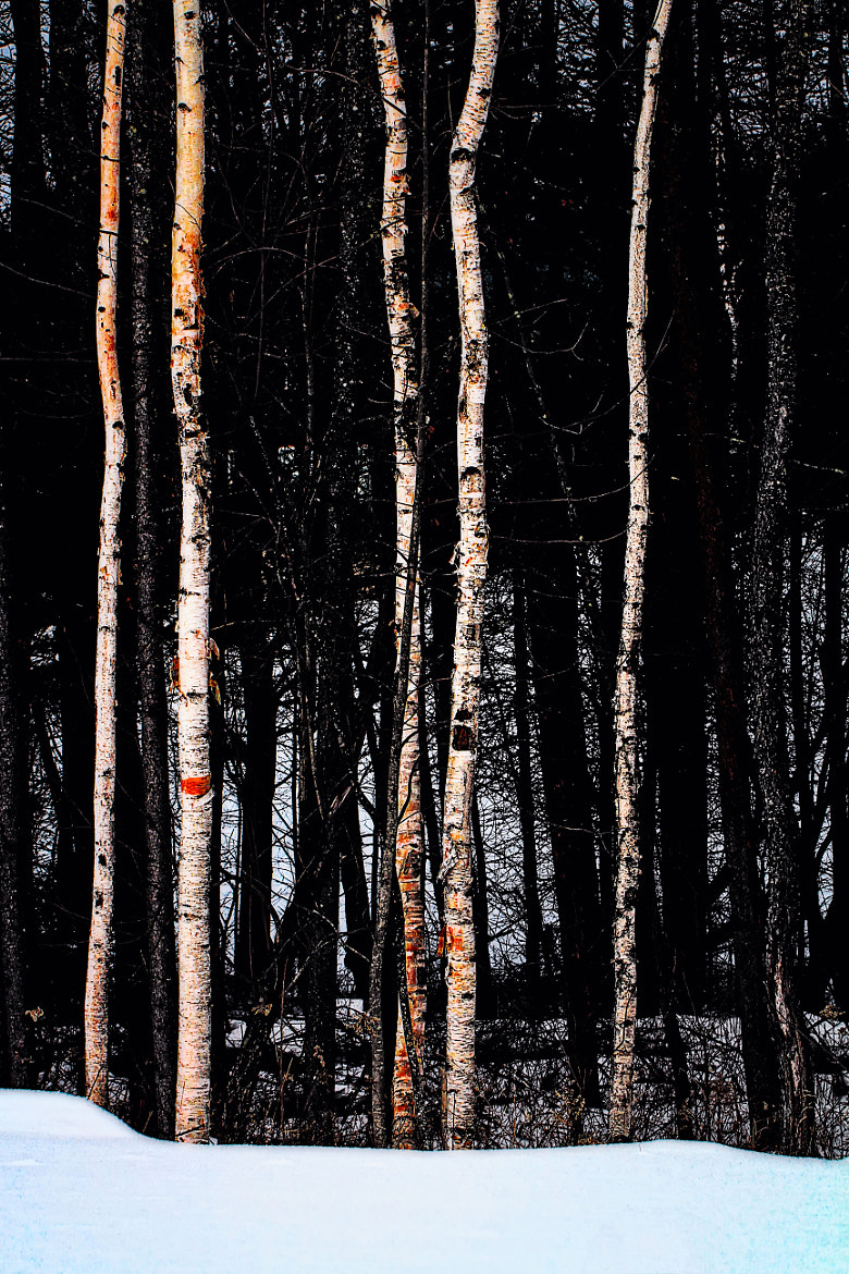 Photograph Some Birch Trees by Matt H on 500px