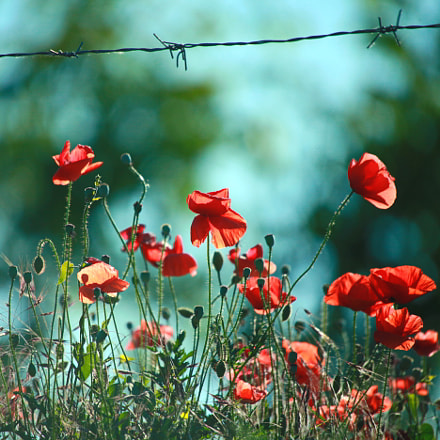 Red poppies..., Canon EOS 5D MARK II