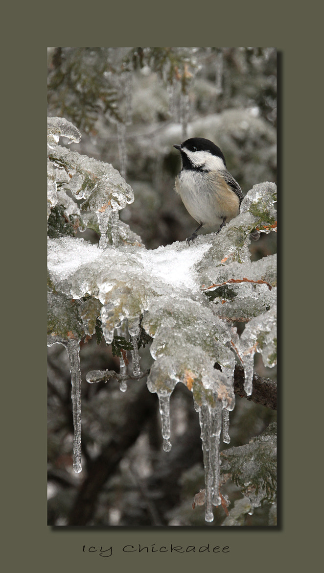 Photograph Icy Chickadee by Heather Bashow on 500px