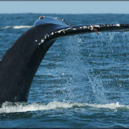 Humpback whale, Sony SLT-A77V, 70-400mm F4-5.6 G SSM