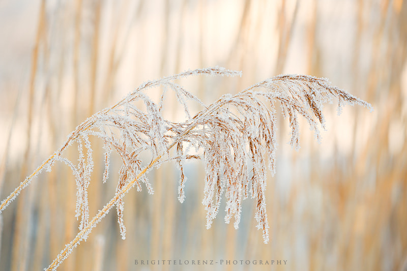 Photograph frozen gras... by brilorenz on 500px
