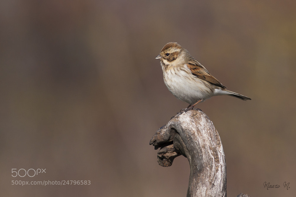 Photograph Reed Bunting by mauro montuori on 500px