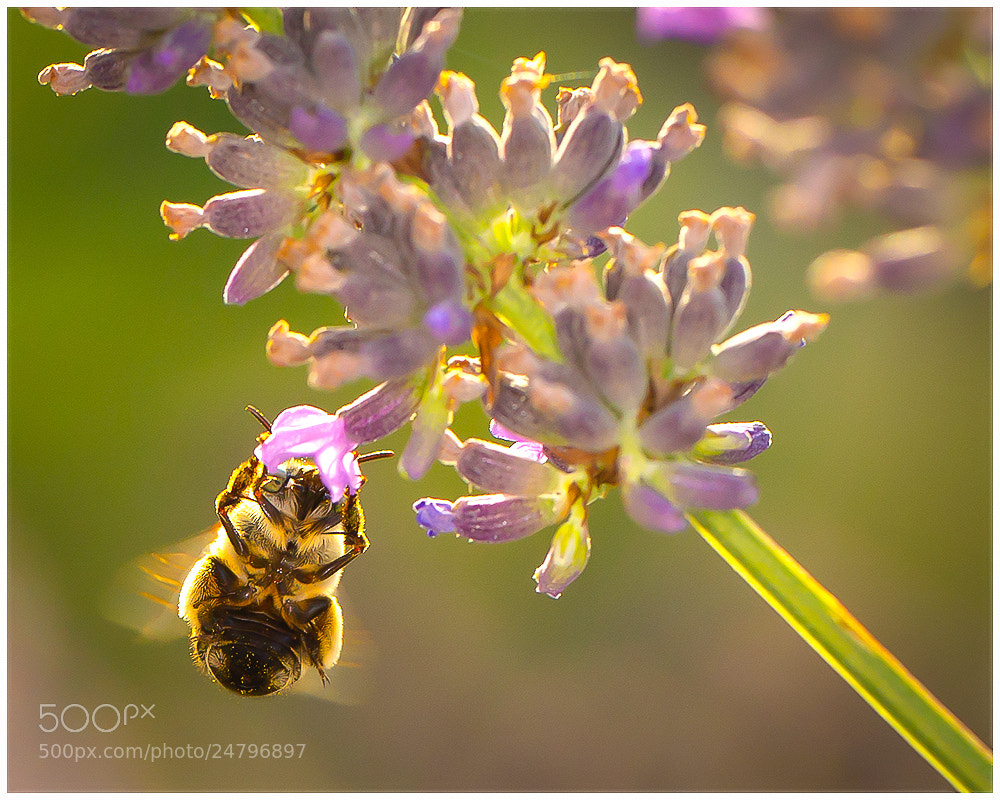 Photograph Golden Bee by Gianni Del Bianco on 500px