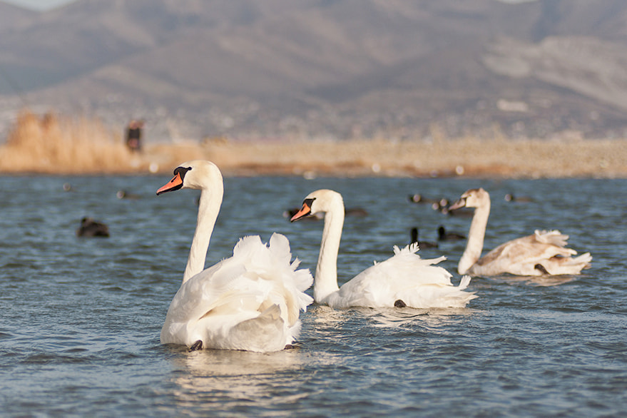 Photograph Swans by Sergey Kukuev on 500px