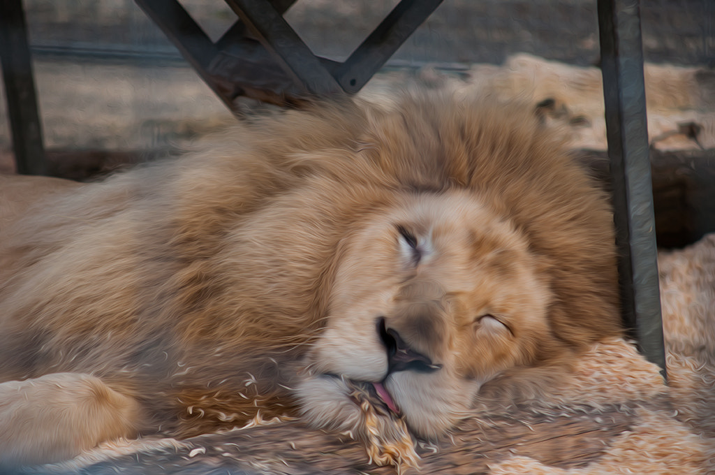 Photograph Lion (°151) by Star Lee on 500px