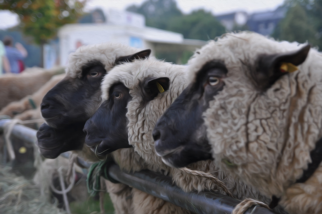Photograph Sheep (°152) by Star Lee on 500px
