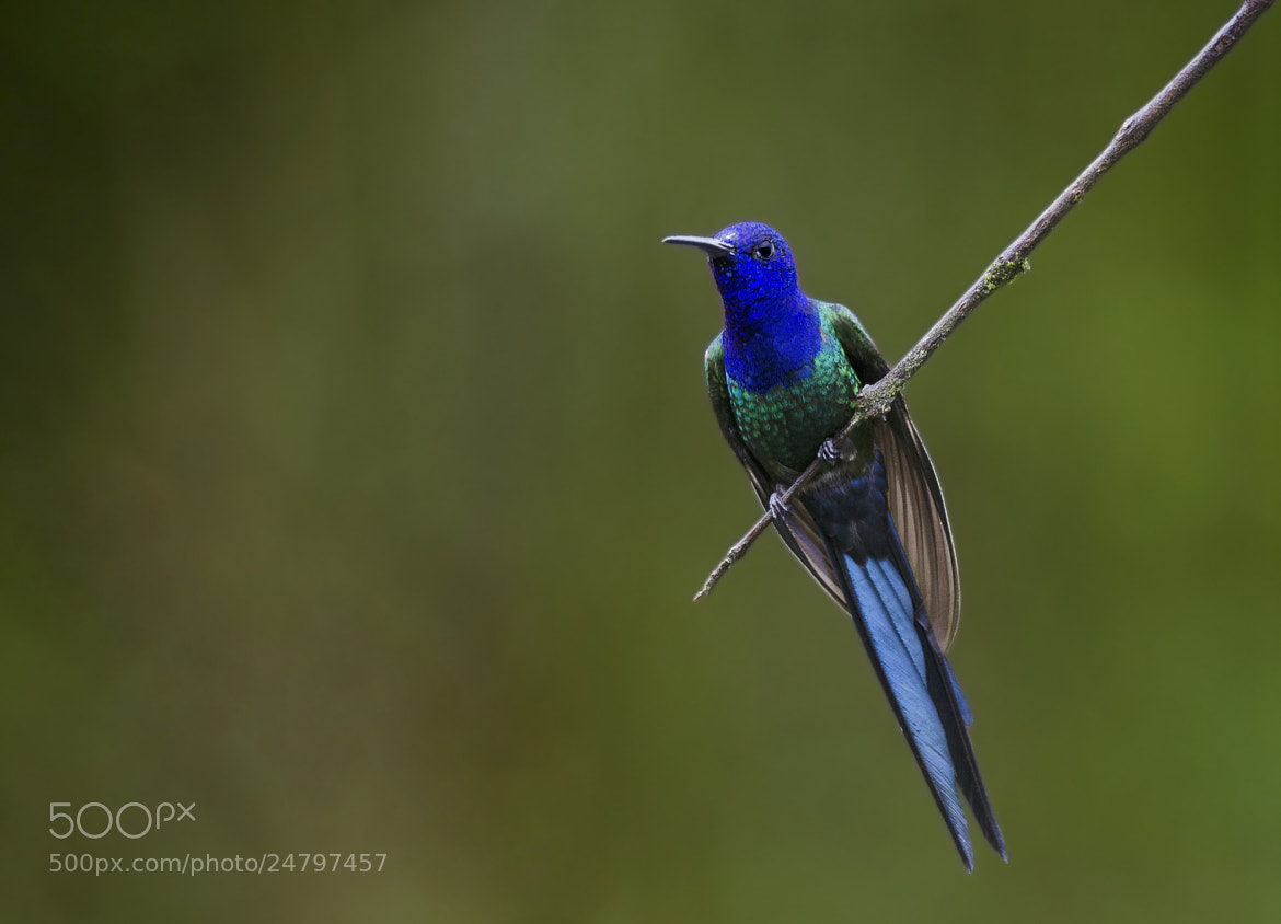 Photograph Swallow-tailed Hummingbird by jarbas mattos on 500px