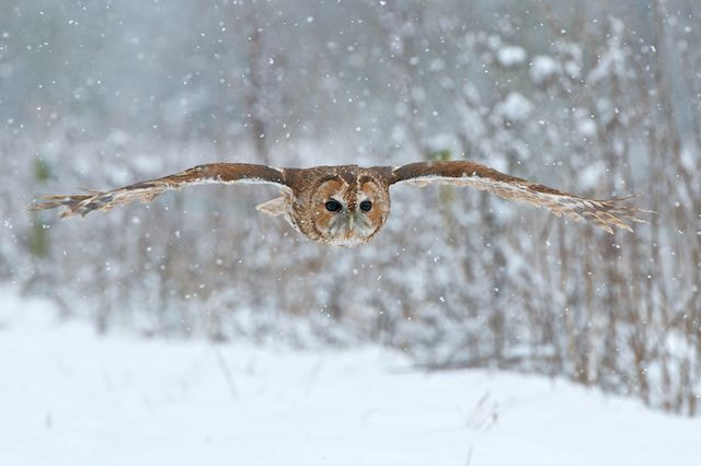 Photograph Tawny owl in the Snow by Matt Binstead on 500px