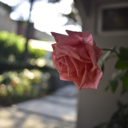 Rosa, Nikon D750