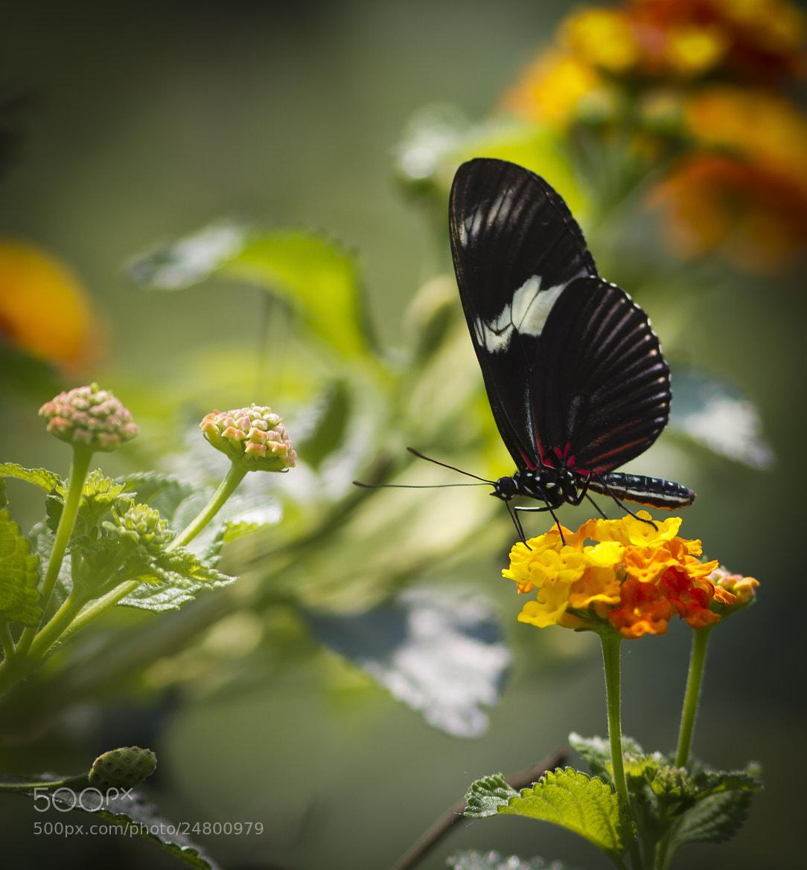 Photograph Farfalla/Butterfly 001 by Luca Vallongo on 500px