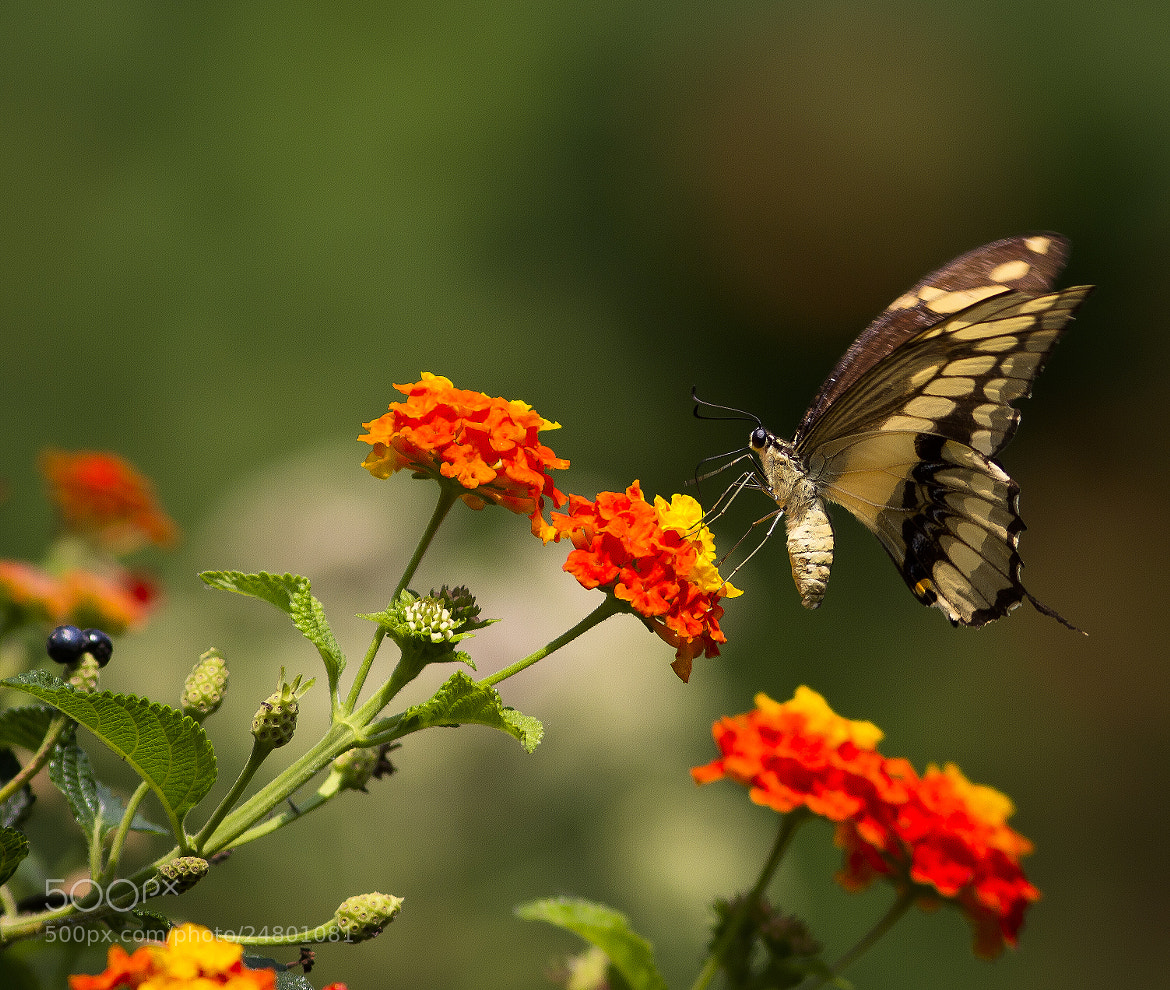Photograph Farfalla/Butterfly 001 by Luca Vallongo on 500px
