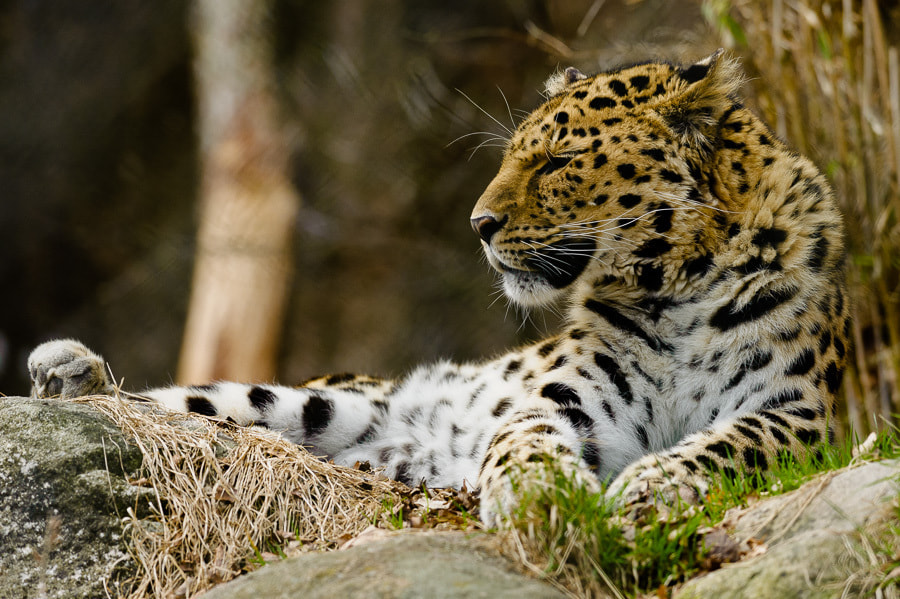 Photograph Panthera pardus orientalis by Magne Skårn on 500px