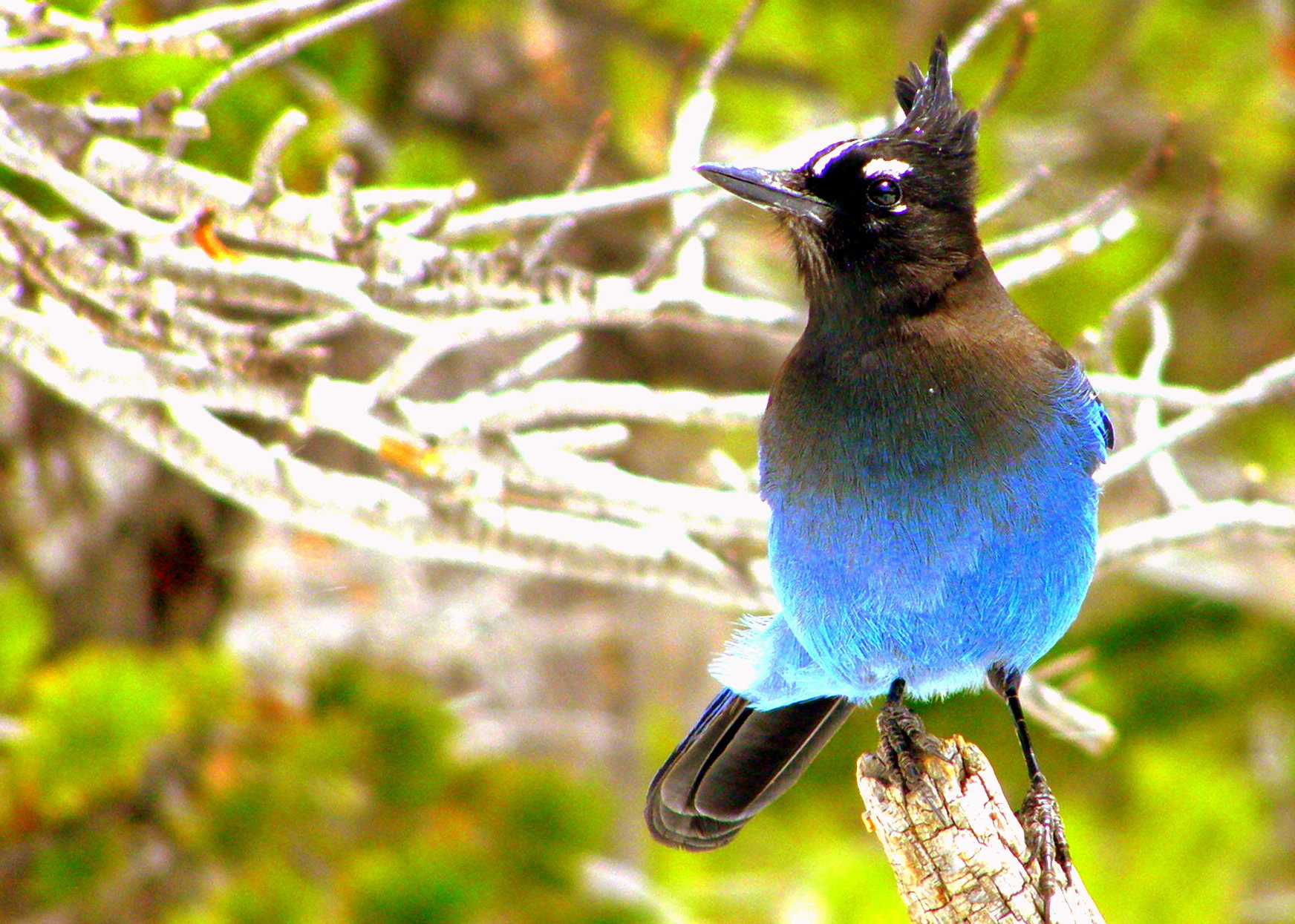 Photograph Friendly steller's jay by CAN4 on 500px
