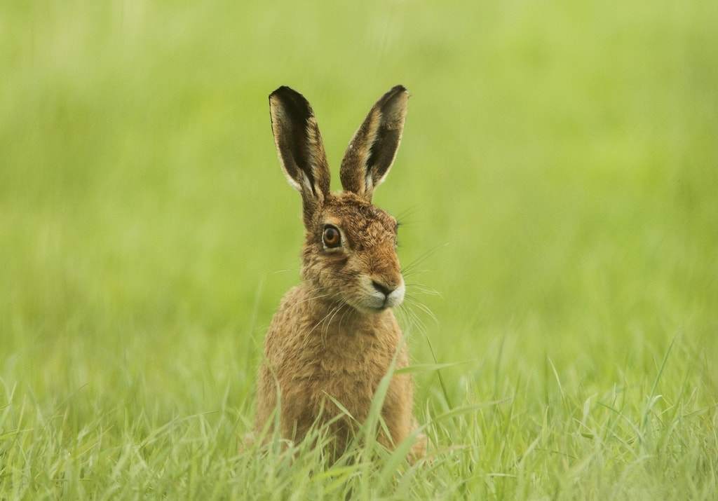 Photograph Brown Hare Leveret (Lepus europaeus) by Andy Howard on 500px
