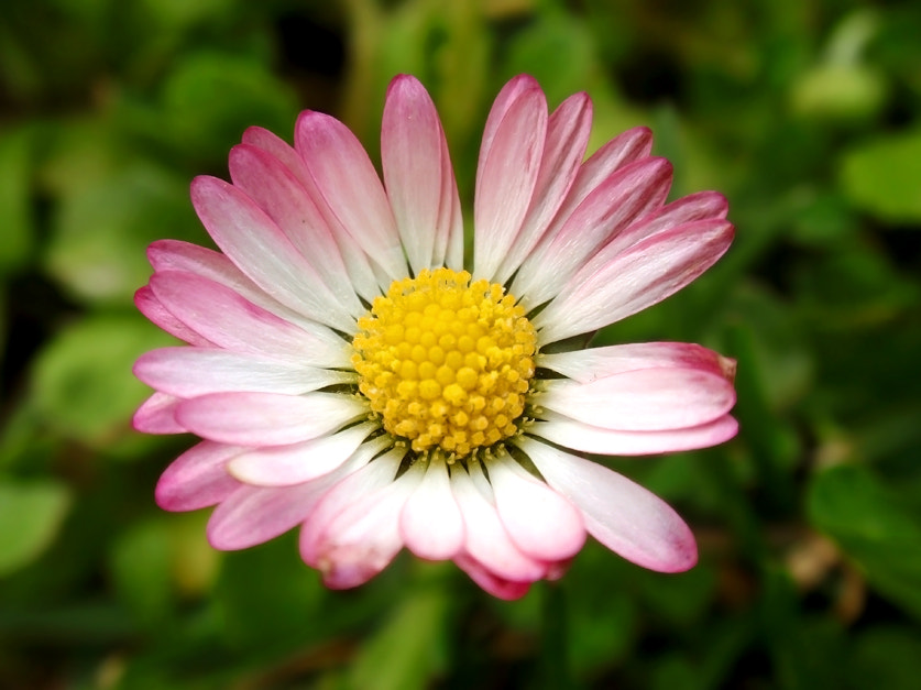 Photograph Margarita - Daisy by Ana MD on 500px