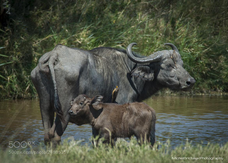 Photograph Buffalos, Serengeti by Michel Bricteux on 500px