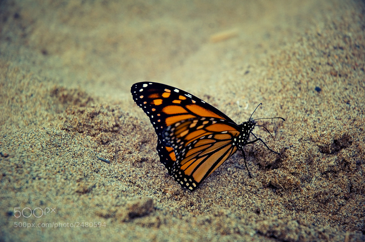 Photograph Monarch by Tom Creighton on 500px