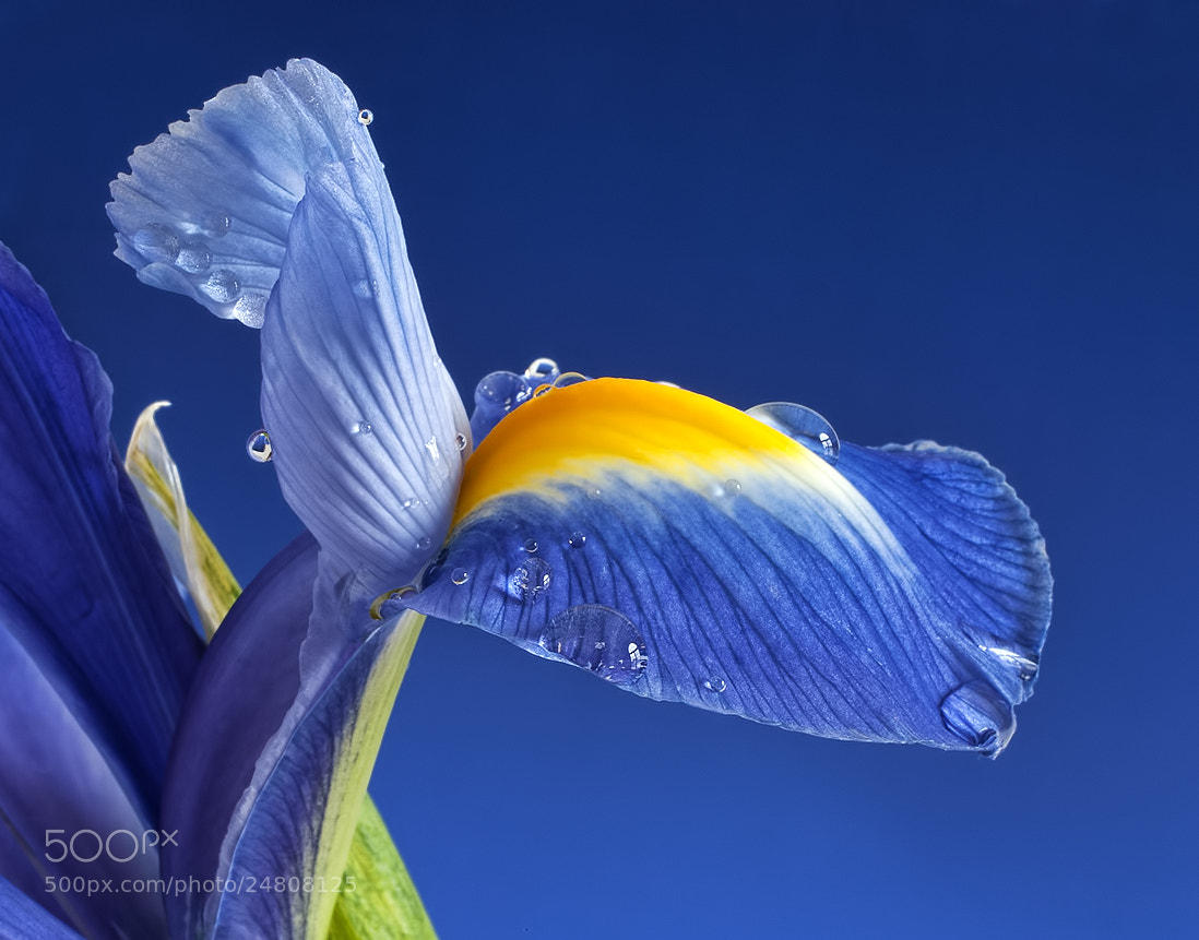 Photograph Iris Drips by Sharon Smith on 500px