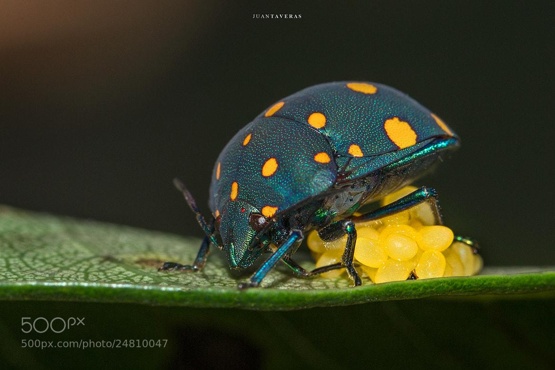 Photograph Jawel Bug by Juan Taveras on 500px