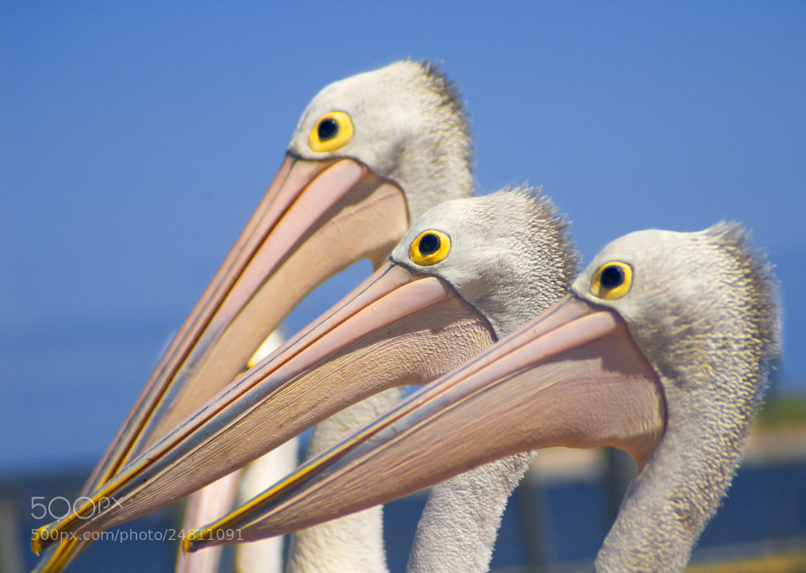 Photograph Three Pelicans by Pat Burns on 500px
