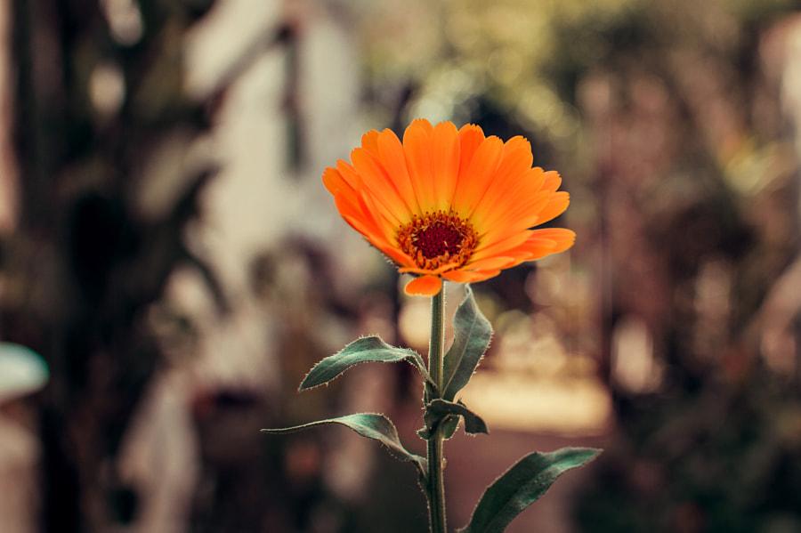 Flower, автор — Vega  на 500px.com
