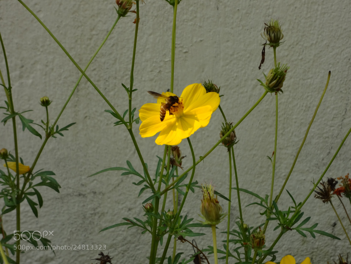 Photograph Honey Bee by Raghavendra Kumar Pande on 500px