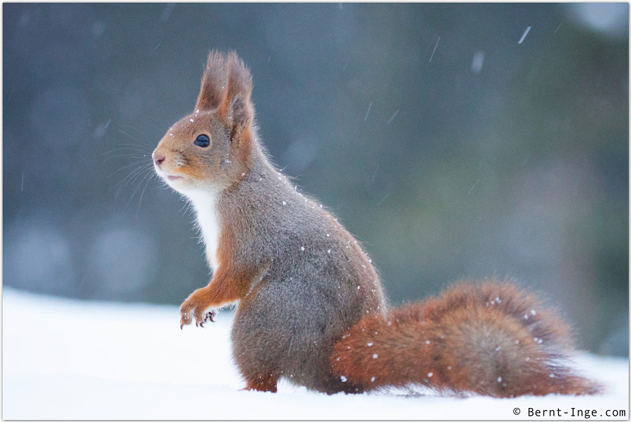 Red squirrel / Ekorn by Bernt-Inge Madsen on 500px.com