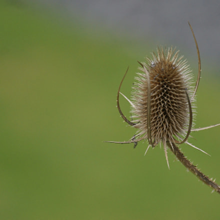 Thistle, Sony DSLR-A550