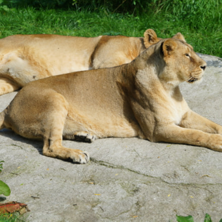 lions in the sun, Sony SLT-A99V