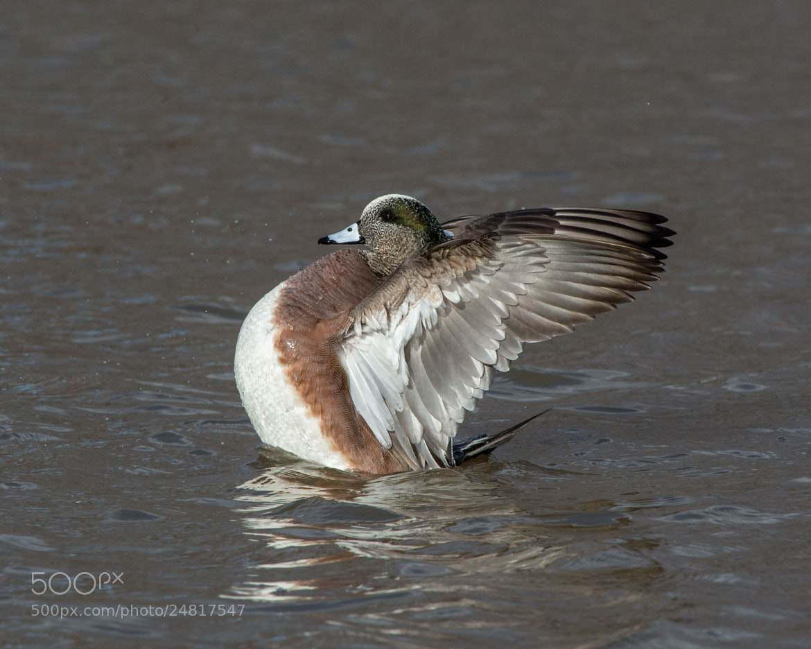 Photograph American Widgeon by Steven Kersting on 500px