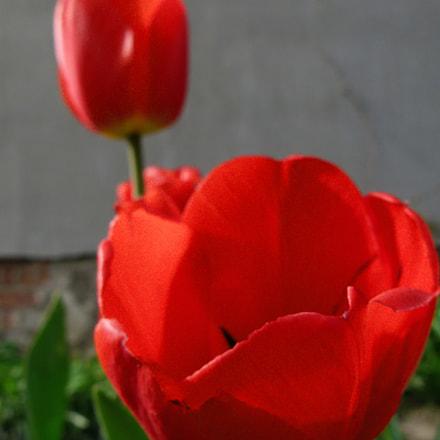 tulip, Panasonic DMC-FZ100