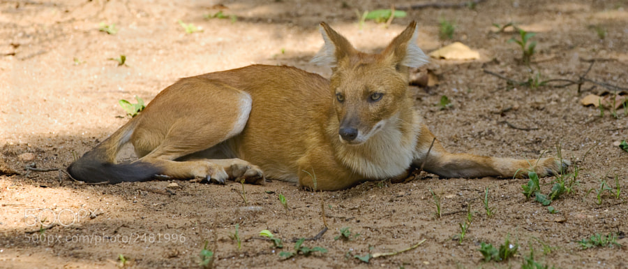 """From my one and only """"Indian Wild Dog"""" sighting in Kanha National Park, India, 2nd May 2011."""