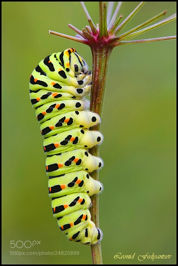 Photograph Siesta Swallowtail Caterpillar by Leonid Fedyantsev on 500px