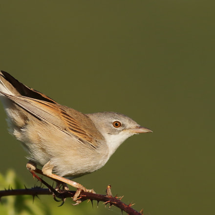 Whitethroat in sunset, Canon EOS 70D, Canon EF 400mm f/5.6L