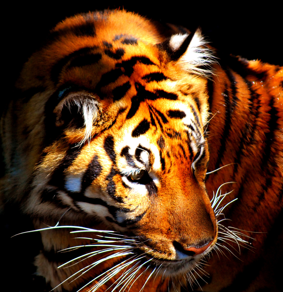 Photograph Tiger in the Den by Sean Whittier on 500px