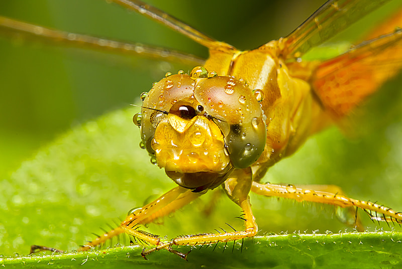 Photograph The face of a dragonfly by suliman alghaithi on 500px