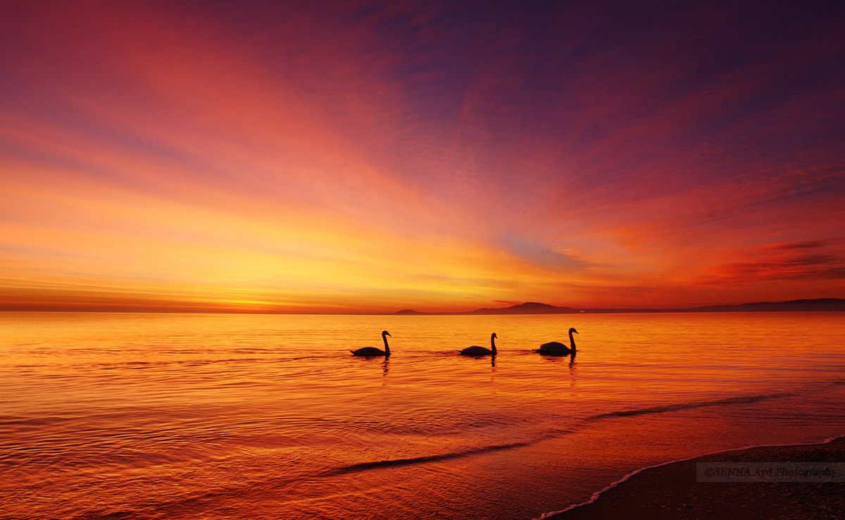 Photograph Swans  by Senna Ayd on 500px