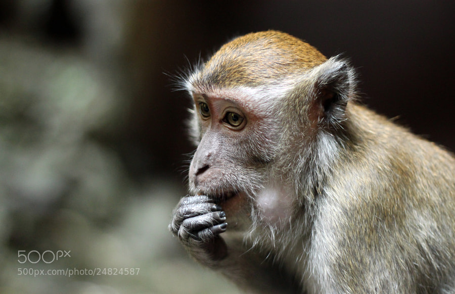 Photograph Young Macaque  by Denise van Rijswijk on 500px