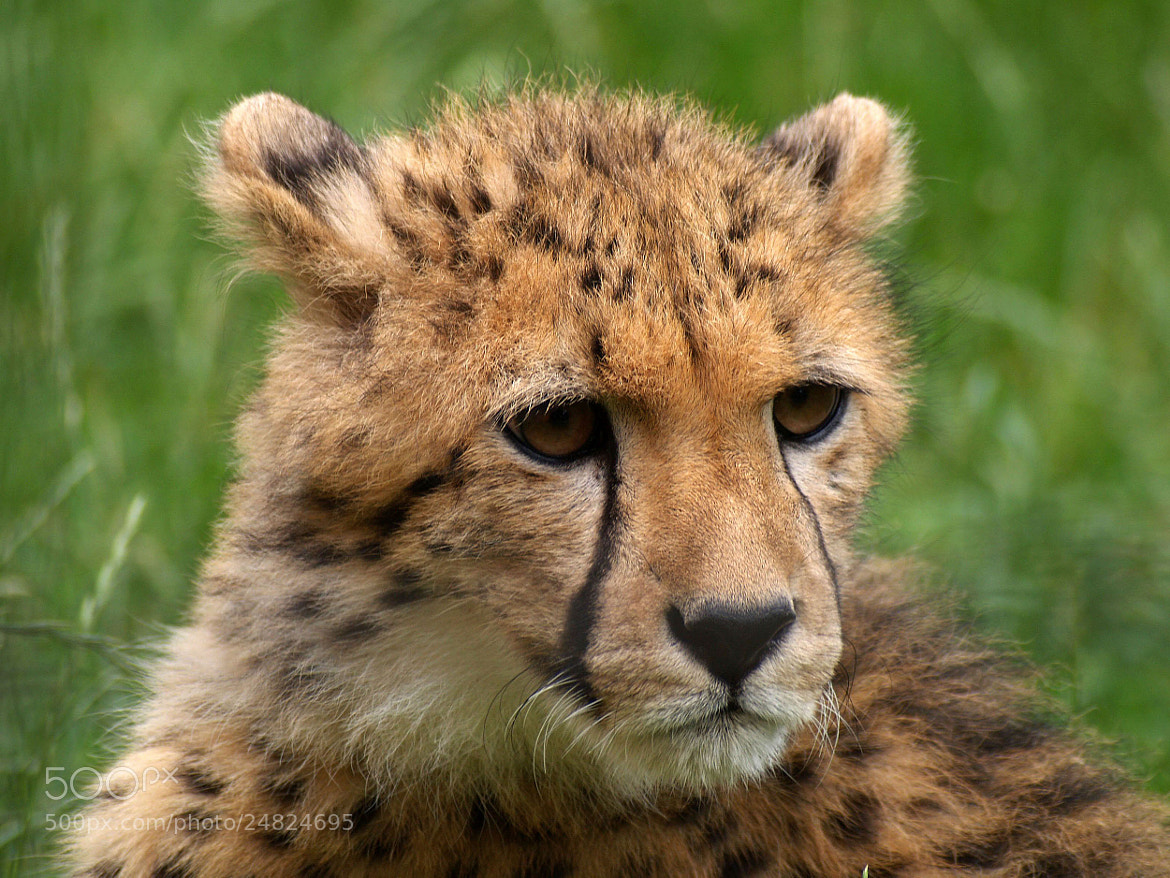 Photograph Gepard by Grit Ende on 500px