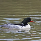 Постер, плакат: Scaly sided Merganser Male Mergus squamatus