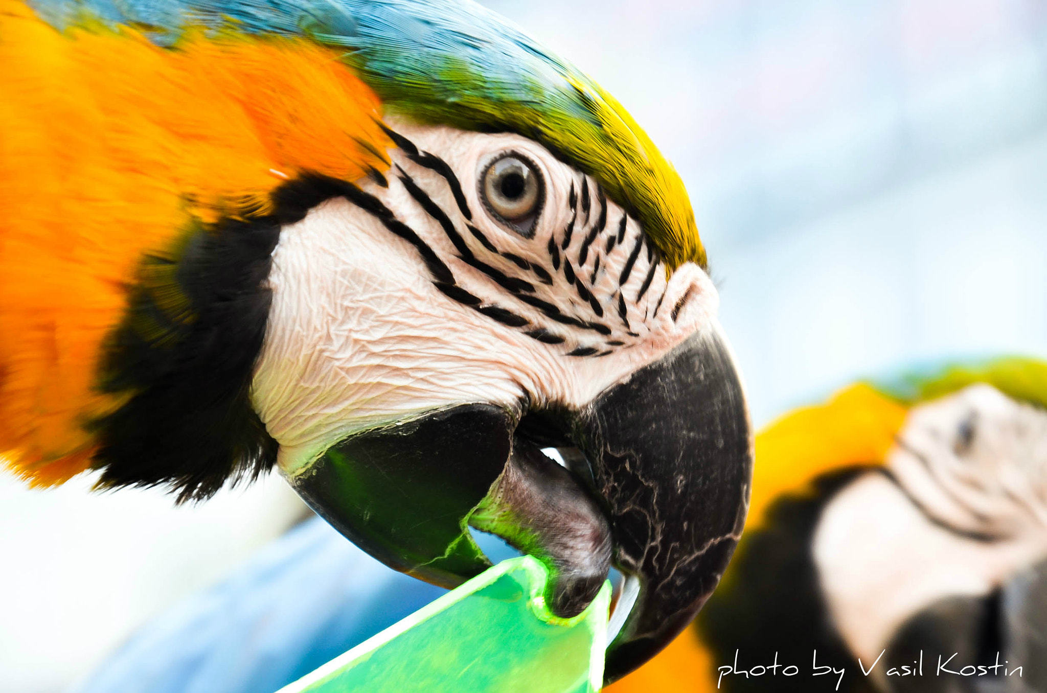 Photograph Papageis toy by Vasil Kostin on 500px